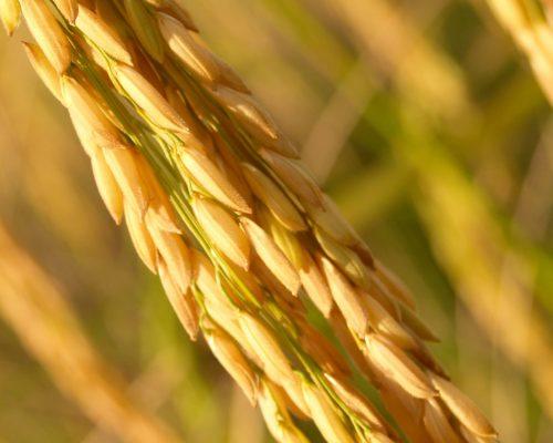 agriculture-asia-autumn-barley-236472